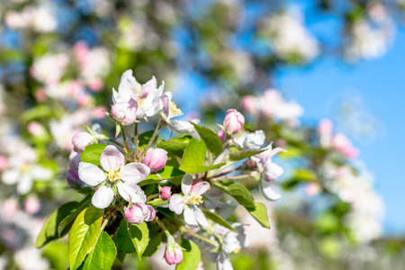 Apple flowers, spring blooming branch with fresh blossom on fruit tree