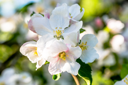 Apple flower, spring blossom, macro of white blossoming branch of fruit tree