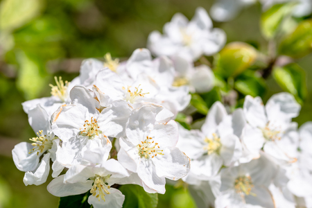 Apple blossom, spring flowers, closeup of blossoming branch of fruit tree Imagens
