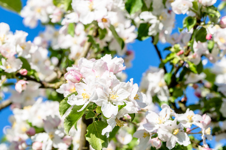 Blooming apple tree, white blossom in spring