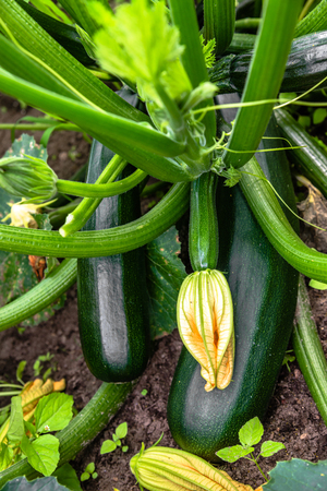 Green zucchini plant with flowers and fruit of zucchinis ready for harvest. Vegetables in the garden, organic fam concept.