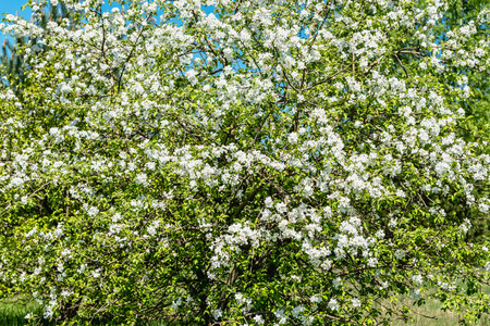 Flowering apple tree, blooming branch with blossoms and leaves