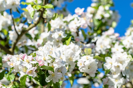 Apple blossom, spring flowers, macro of blossoming branch on sky background