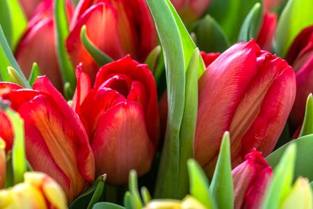 Blooming red tulips in spring garden, tulip background