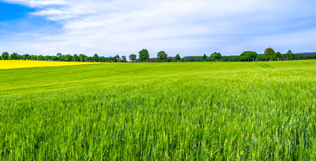Green farm, panoramic view of farmland, crop of wheat on field, spring landscape Archivio Fotografico