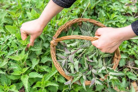 Fresh nettles field. Farmer with freshly harvested nettle plant. Spring season of harvesting herbs. Medicinal plants - harvest season in spring.