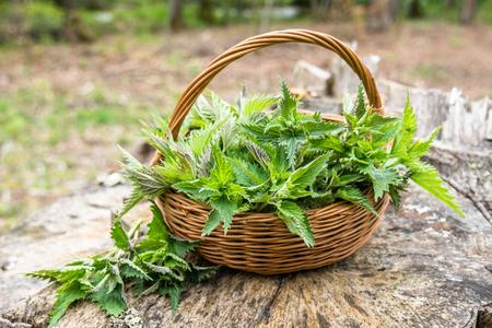 Cesta de hojas frescas de ortiga, hierbas verdes cosechadas en el bosque. Planta de medicina alternativa. Foto de archivo