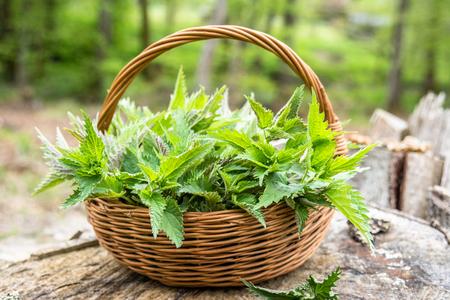 Freshly harvested nettle plant. Herbs harvest season. Fresh green nettles in the basket.