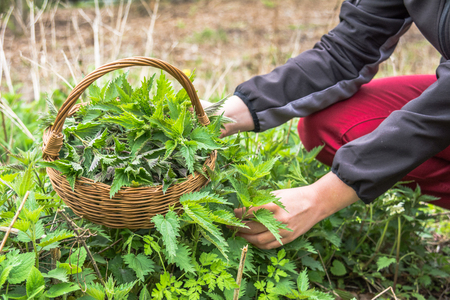 Farmer harvesting herbs - leaves of nettle in to the basket. Green nettles picking in spring.