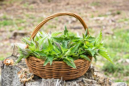 Freshly harvested nettle leaves. Herbs harvest season. Spring fresh green nettles in the basket. Banco de Imagens