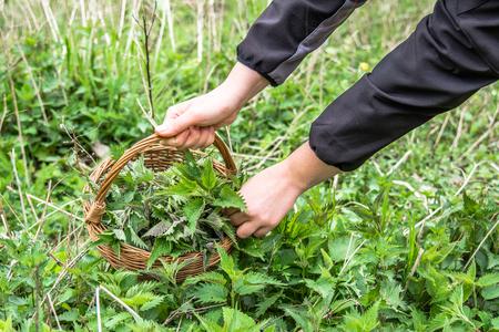 Farmer harvesting herbs - fresh green nettle leaves in to the basket. Medicinal plant harvest in spring.
