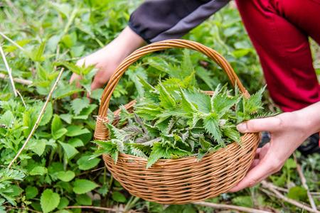 Common nettle harvest. Farmer holding basket with green fresh young nettles. Spring season of harvesting herbs. Medicinal plant. Banco de Imagens