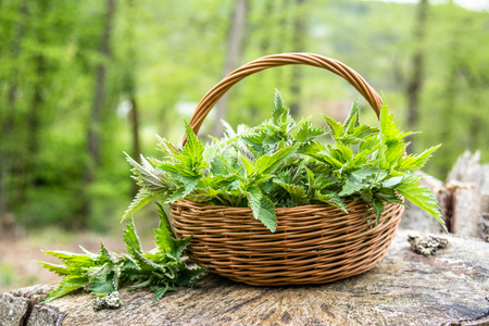 Basket of fresh herbs - leaves of nettle harvested in the forest