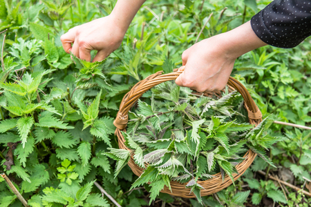 Growing nettles - harvest. Farmer holding basket with young green nettle plant. Spring season of harvesting herbs.