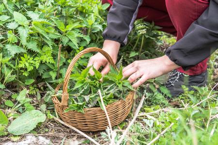 Farmer harvesting herbs - leaves of nettle in to the basket
