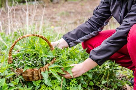 Fresh nettles. Basket with freshly harvested nettle plant. Spring season of harvesting herbs