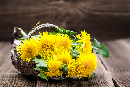Fresh dandelion flowers, medicinal plant and herbs harvest Banco de Imagens
