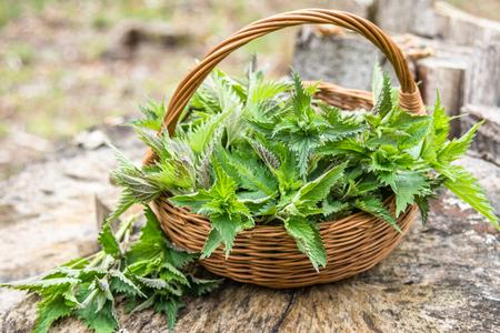 Common nettle harvest. Basket with young fresh nettles. Spring season of harvesting herbs. Banco de Imagens