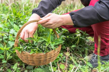 Farmer harvesting nettle. Fresh green herbs harvest.
