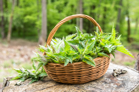 Common nettle harvest. Basket with green fresh young nettles. Spring season of harvesting herbs.