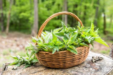 Cosecha de ortiga común. Cesta con ortigas tiernas frescas verdes. Temporada de primavera de cosecha de hierbas. Foto de archivo