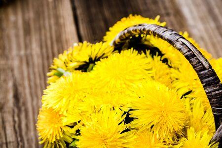 Bouquet of yellow dandelion flowers, medicinal plant harvest