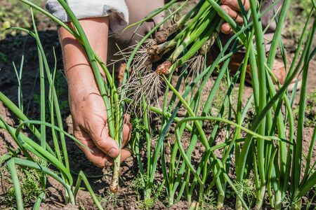 Fresh green onion from the soil. Farmer picking vegetables, organic produce harvested in the garden, organic farming concept.