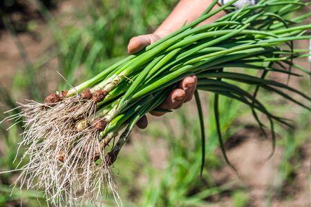 Farmer in the garden harvesting spring green onion, farm fresh organic vegetable harvest