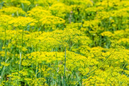 Fresh herb in the garden. Flowers of dill on farm, organic farming concept. Stok Fotoğraf