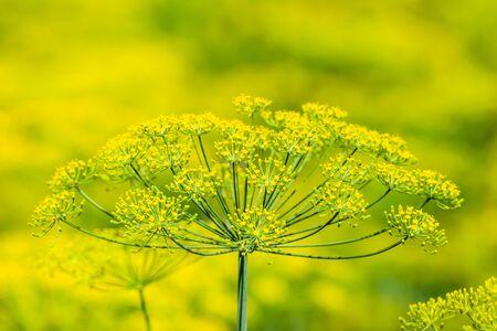 Fresh herb in the garden. Dill flower, closeup. Zdjęcie Seryjne