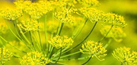 Fresh herb in the garden. Dill flower, macro Standard-Bild - 128181402