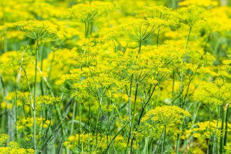 Fresh herb in the garden. Flowers of dill on farm, organic farming concept. Stock fotó