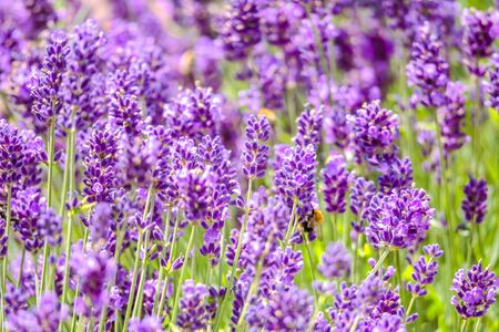 Blooming flower of lavender in the garden. Flowers background.