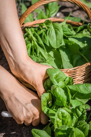 Farmer in the garden harvesting spinach, farm fresh organic vegetable harvest 版權商用圖片