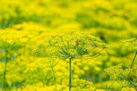 Fresh herb in the garden. Dill flower, closeup. Stock fotó