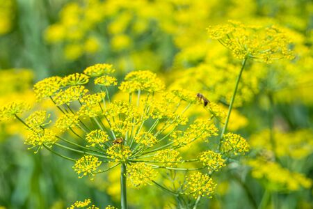 Fresh herb in the garden. Dill flower, closeup. Reklamní fotografie