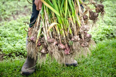 Farmer holding freshly harvested garlic. Fresh farm vegetable or organic produce in the garden. Reklamní fotografie