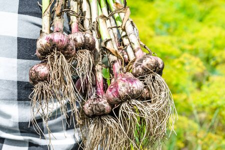 Fresh garlic from the soil. Farmer picking vegetables, organic produce harvested from the garden, organic farming concept.