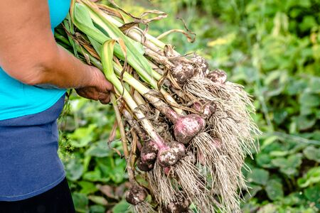 Farmer holding freshly harvested garlic, fresh organic vegetable, harvest on farm