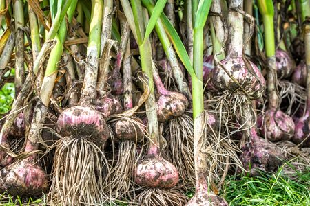 Farm fresh garlic from the soil. Vegetables from local farming, organic produce harvested in the garden. Autumn harvest. Reklamní fotografie