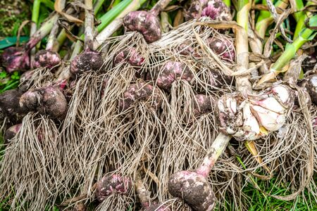 Bio vegetables. Frresh organic garlic harvested in the garden.