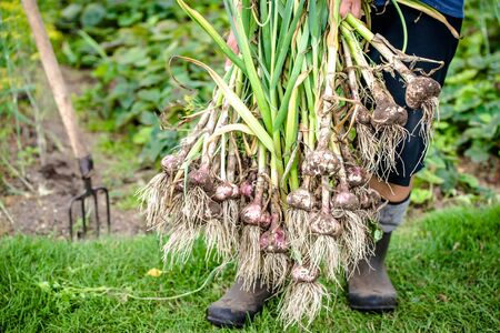 Harvesting garlic in the garden. Farmer with freshly harvested vegetables, organic farming concept.