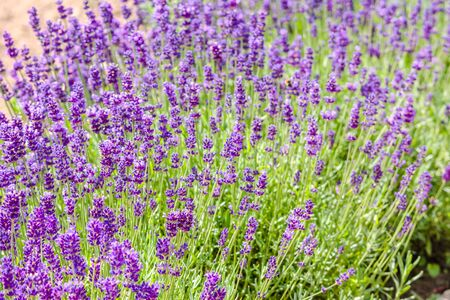 Field of lavender, flower background