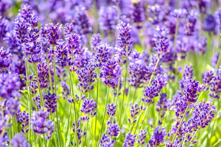 Flower of lavender in the garden. Flowers background.