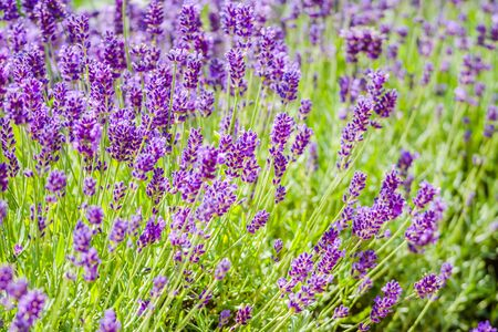 Blooming flower of lavender in the garden. Purple flowers, background.