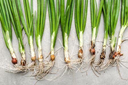 Fresh onion, green organic freshly harvested spring onions, top view
