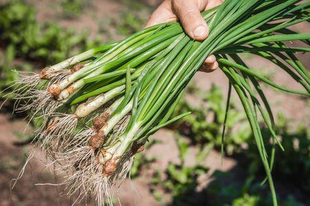 Fresh green onion, harvested freshly organic vegetables in the farmer garden, bio food concept