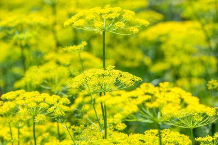 Fresh herb in the garden. Dill flower, closeup. Banco de Imagens
