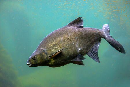 Common carp fish in freshwater pond, underwater shot of cyprinus carpio.