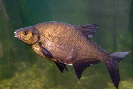 Common carp. Freshwater fish, underwater shot in pond. Фото со стока